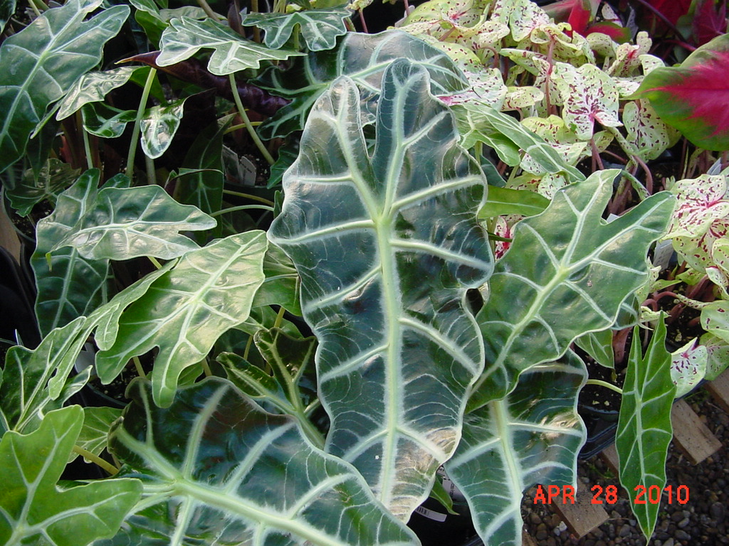 Colocasia Elephant Ears And Tropicals Hasting Plants